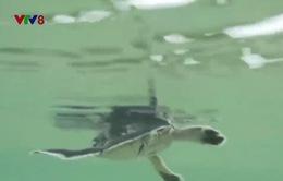 Cận cảnh hơn 420 cá thể rùa biển con được thả về đại dương tại Cù Lao Chàm