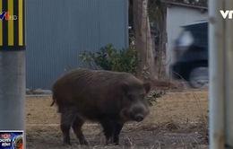 Lợn rừng xuất hiện ở nhiều thị trấn tại Fukushima (Nhật Bản)
