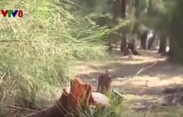 """Phú Yên: Chủ rừng ngang nhiên """"xẻ thịt"""" rừng phòng hộ ven biển"""