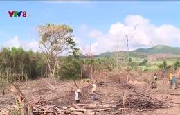 Lợi dụng khai thác rừng Flitch để chặt phá rừng tự nhiên ở Phú Yên