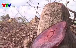 Phú Yên: Hơn 144 tấn gỗ củi đưa ra khỏi rừng dự án Flitch