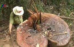 Kon Tum: Rừng phòng hộ bị tàn phá, chính quyền không hay biết