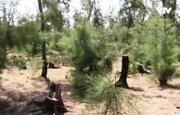 Sẽ xử lý nghiêm vụ phá rừng phòng hộ ven biển Phú Yên
