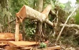 Vụ chặt cây rừng phòng hộ Quảng Trị không có dấu hiệu móc nối