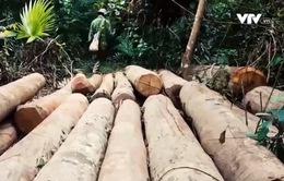 Vì sao Hạt kiểm lâm Quỳ Hợp chậm xử lý tình trạng rừng tự nhiên bị tàn phá?