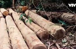 Nghệ An: Lâm tặc ngang nhiên phá rừng tự nhiên