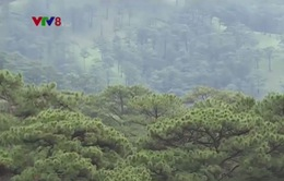 Lâm Đồng cho khai thác 750 ha rừng trồng