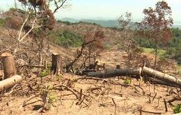 Bắt hai đối tượng liên quan đến phá rừng An Lão, Bình Định