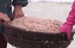 Ngư dân Quảng Trị trúng mùa ruốc nhờ công suất tàu lớn