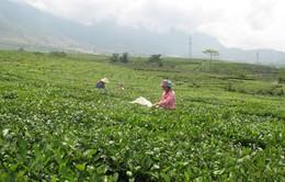 Lai Châu: Hiệu quả liên kết doanh nghiệp và nông dân trồng chè