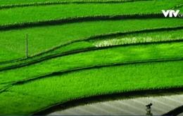Khí ozone nồng độ cao làm giảm sản lượng gạo