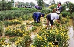 TT - Huế: Nỗ lực cứu lúa bị ngập úng