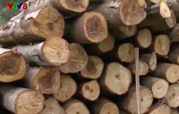Quản lý khai thác gỗ rừng bị thiệt hại sau bão