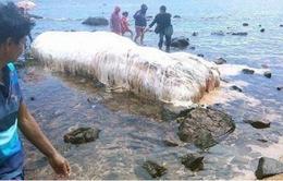 Sinh vật lạ phủ đầy lông trắng dạt vào bờ biển Philippines