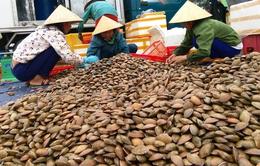Ngư dân Hà Tĩnh được mùa sò lụa