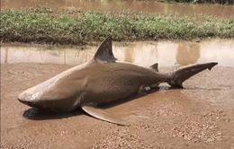 """Người dân Australia kinh hãi khi cá mập theo lốc xoáy """"bay"""" lên bờ"""