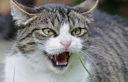 Nghi phạm số 1 trong vụ án giết người bất thành lại là... một chú mèo