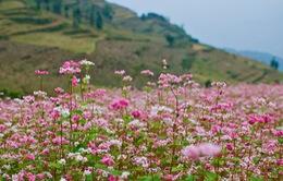 Nô nức đến Hà Giang ngắm hoa tam giác mạch