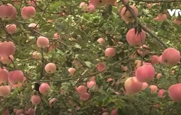 Nghề trồng táo sạch cho thu nhập cao tại Sơn Đông, Trung Quốc