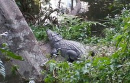 Suýt mất mạng vì chụp ảnh selfie với... cá sấu