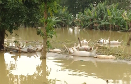 Nông nghiệp thiệt hại nặng nề do mưa lũ