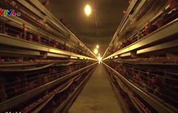 Xuất lô thịt gà đầu tiên sang Nhật: Mở ra hướng đi sáng cho ngành chăn nuôi