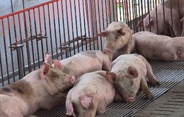 Bộ Bộ NN&PTNT bàn đầu ra cho đàn lợn ùn ứ tại Đồng Nai
