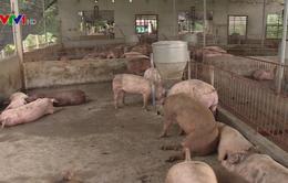 TP.HCM: Thịt lợn không đeo vòng truy xuất không được vào chợ