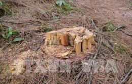TT-Huế: Gần 100 cây thông trên 60 năm tuổi bị đốn hạ