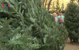 Mỹ thiếu cây thông cho mùa Giáng sinh