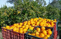 Thu hoạch cam theo yêu cầu tại Tây Ban Nha