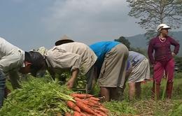 Thực hư chuyện DN không mua cà rốt cho nông dân