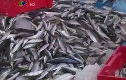 Sản lượng khai thác hải sản của Thừa Thiên Huế tăng cao nhờ Nghị định 67