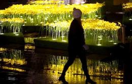 Cánh đồng hoa thủy tiên phát sáng tại Anh