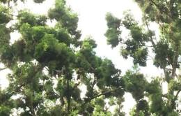 Bảo vệ và nhân giống cây Thủy Tùng ở Tây Nguyên