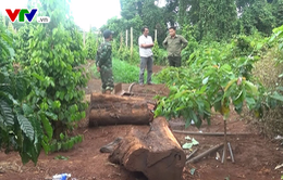 Đắk Lắk: Điều tra làm rõ nhóm đối tượng chặt cây gỗ thủy tùng 500 tuổi