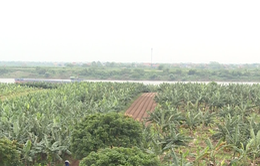 Sản xuất gặp khó khi không tích tụ ruộng đất