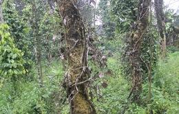Quảng Trị: Gần 400 ha hồ tiêu nhiễm bệnh