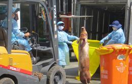 Phát hiện thêm lô lợn bị tiêm thuốc an thần ở lò Hòa Phú, TP.HCM