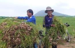 Nông dân đảo Lý Sơn đổ xô bán tỏi tươi