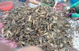 PTTg chỉ đạo khắc phục vụ tôm hùm chết tại Sông Cầu, Phú Yên
