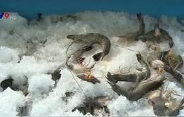 Lại phát hiện vụ vận chuyển tôm bơm tạp chất tại Bạc Liêu