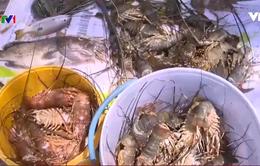 Áp lực nợ nần lên vùng nuôi tôm hùm tại Phú Yên