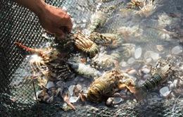 Người nuôi tôm hùm ở Lý Sơn thua lỗ tiền tỷ