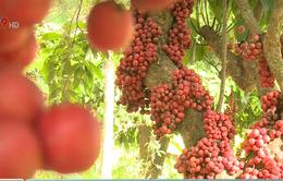 Đến với cao nguyên Vân Hòa ở Phú Yên trải nghiệm mùa trái đỏ chín