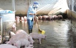 Phát triển mô hình chăn nuôi lợn theo tiêu chuẩn VietGap (17h25, VTV1)
