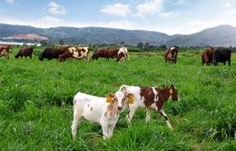Khánh thành trang trại bò sữa hữu cơ đầu tiên ở Việt Nam