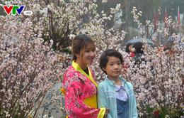 Triển lãm hoa anh đào tại Hà Nội kéo dài thêm một ngày
