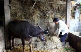 Liên tiếp xảy ra trộm cắp gia súc của người dân ở Yên Bái