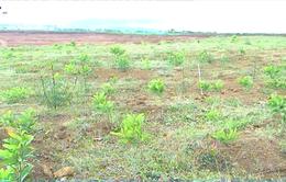 Lâm Đồng trồng cây năng lượng trên 3ha đất khai thác mỏ bauxit